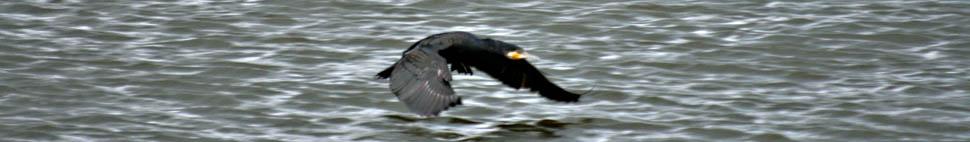 cormorantheader2