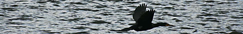 cormorantheader4