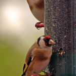 goldfinches-32