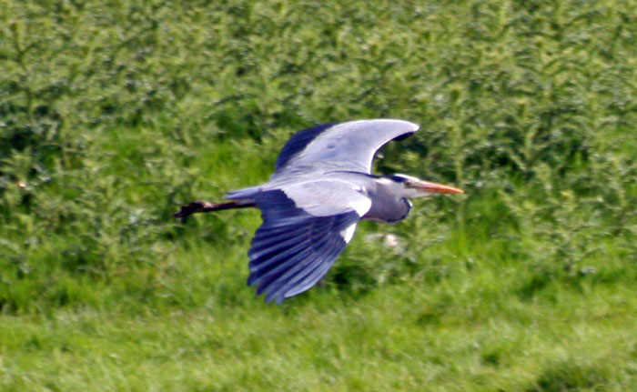 Grey Heron gliding