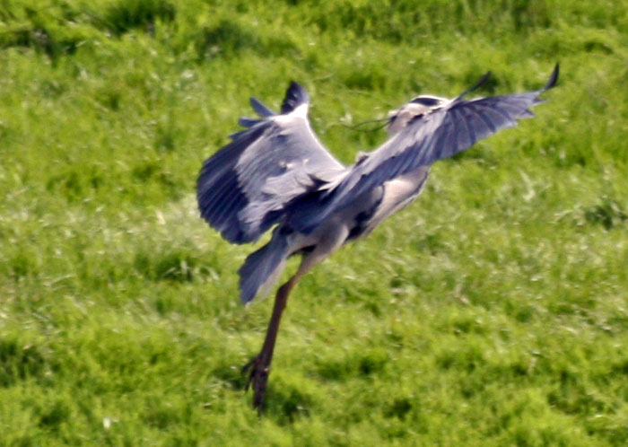 Grey Heron about to land