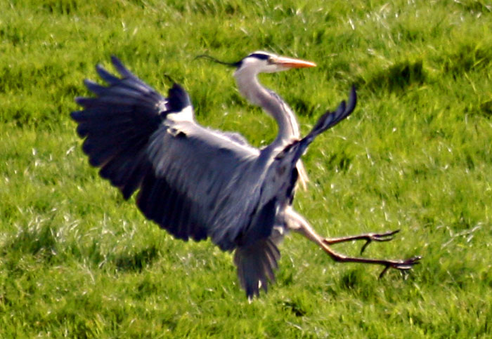 Grey Heron on the point of landing