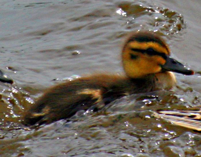 mallard-duckling-5204