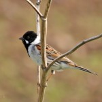 reed-bunting-2