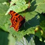 comma-butterfly-2