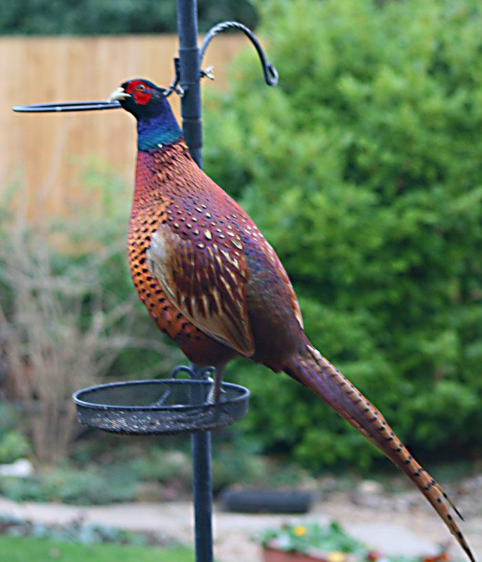 pheasant-1