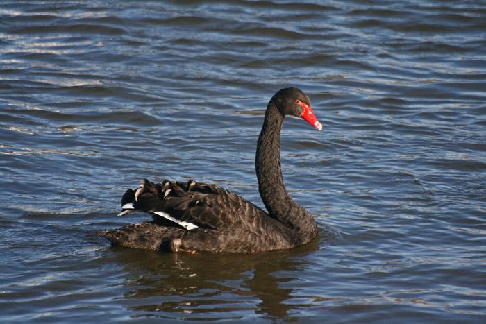 black-swan4099