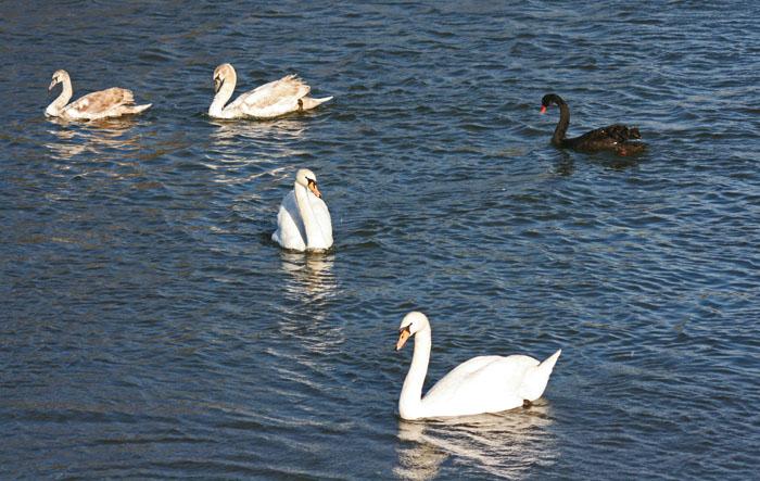 mute-black-swans4090