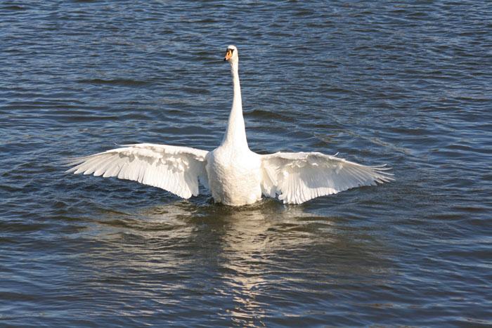 mute-swan-bathing4103