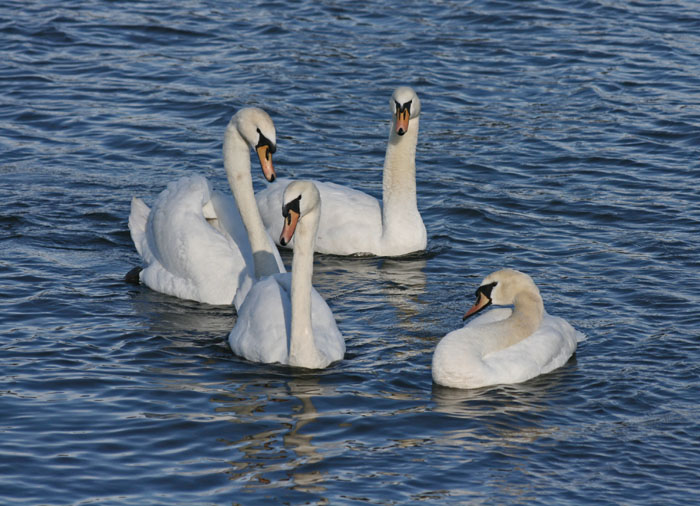 mute-swans-4122