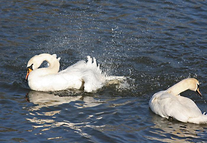 mute-swans-bathing4094
