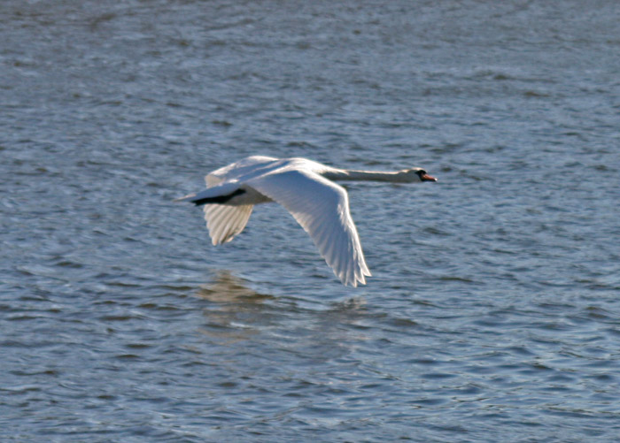 swan-flying-4050