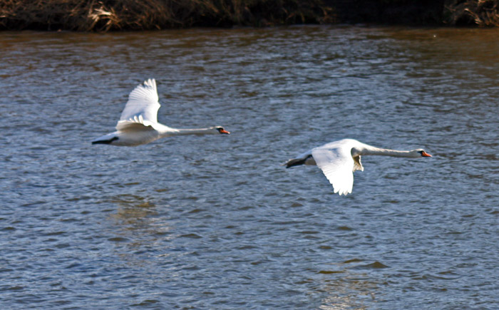 swans-flying4044