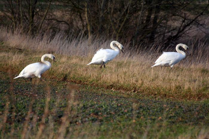 swans-walking-4148