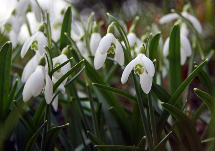 snowdrops-ht-church4174