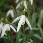 snowdrops-ht-church4180