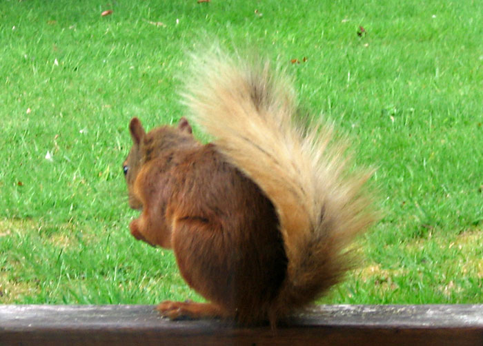 red-squirrel-267