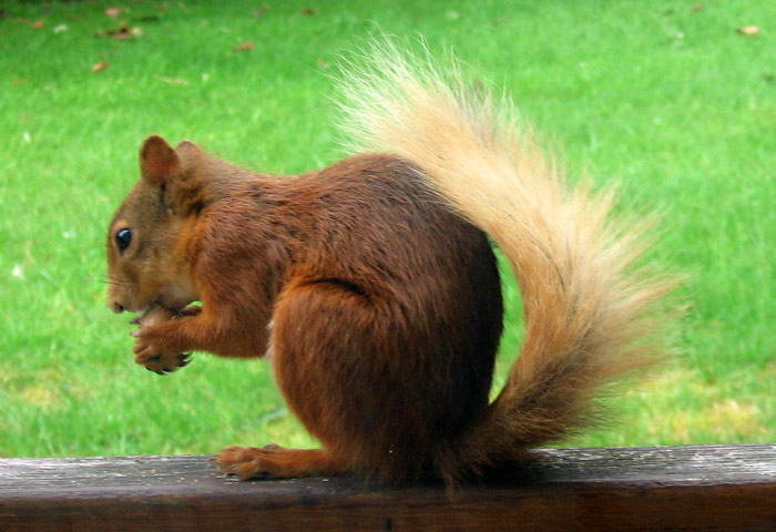 red-squirrel-268