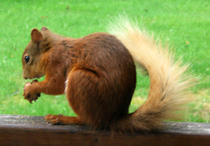 red-squirrel-269