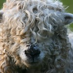 sheep-4948