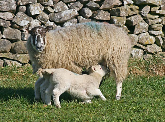sheep-lamb-4713