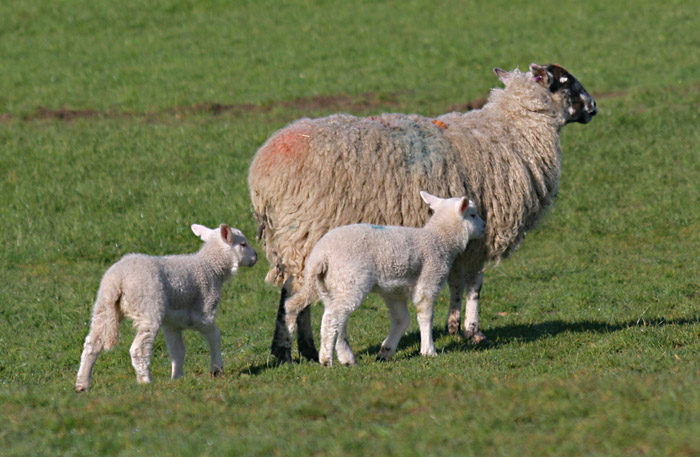 sheep-lambs-4708