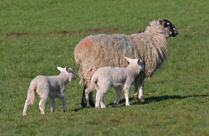 sheep-lambs-4708