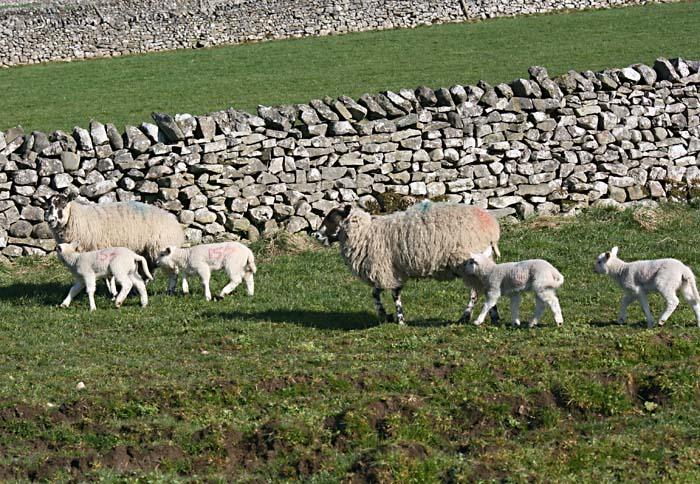 sheep-lambs-4710