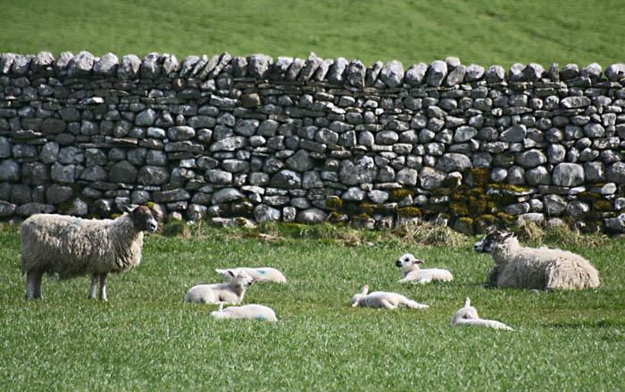 sheep-lambs-4844