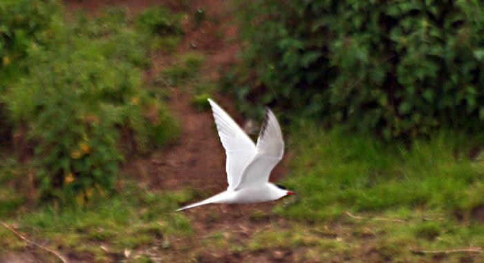 common-tern-5180