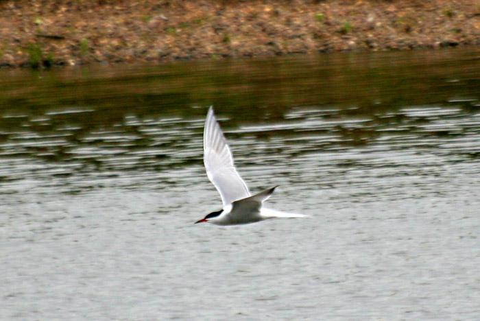 common-tern-5183
