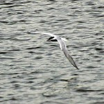 common-tern-5184