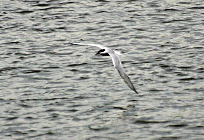 common-tern-5184