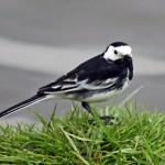 wagtail-5173