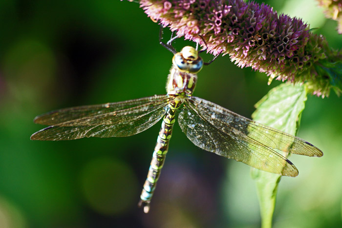 Dragonfly 013