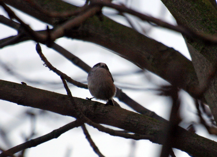 Long-tailed tit 002