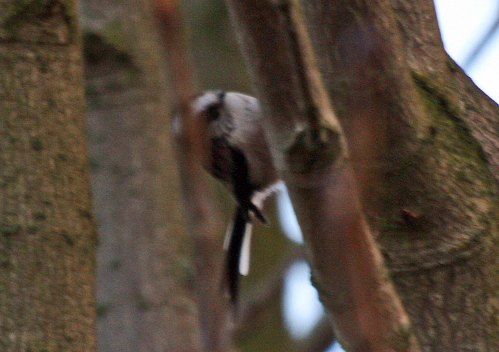 Long-tailed tit 005