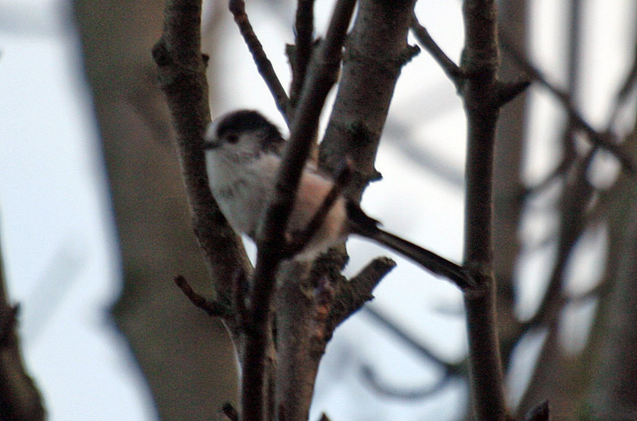 Long-tailed tit 006