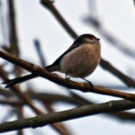 Long-tailed tit 007