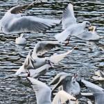 gulls2959