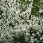 29April2010Blackthorn086