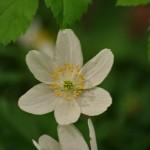 Wood Anemone 072
